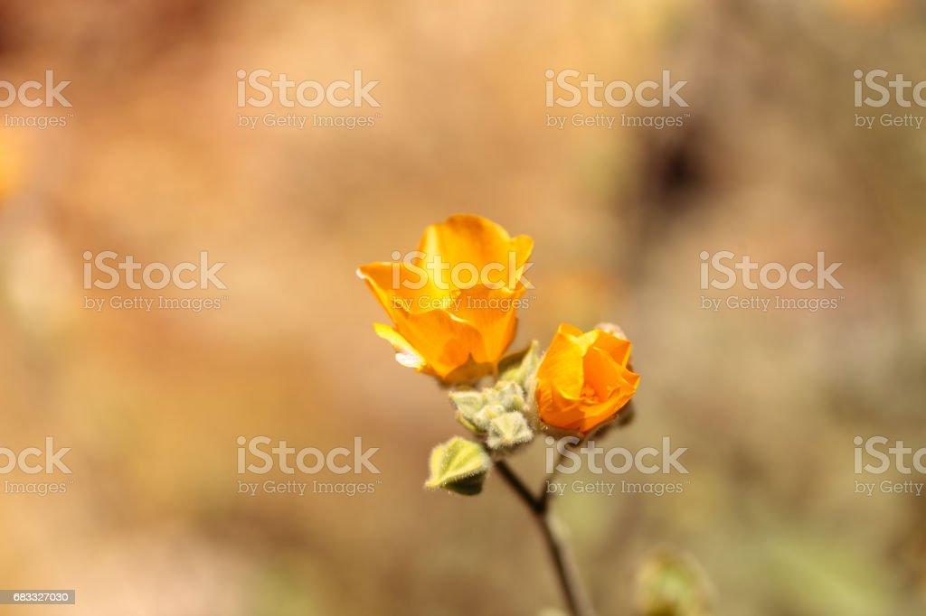 Yellow flower on Palmer's Indian mallow, Abutilon palmeri foto stock royalty-free
