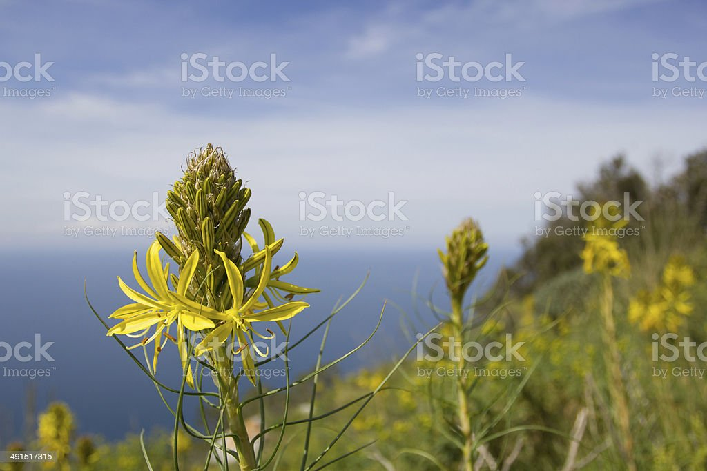 Yellow flower on the promontory of Circeo, Italy stock photo