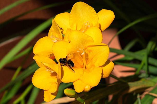 Yellow Flower Yellow flower with a little bee alas stock pictures, royalty-free photos & images