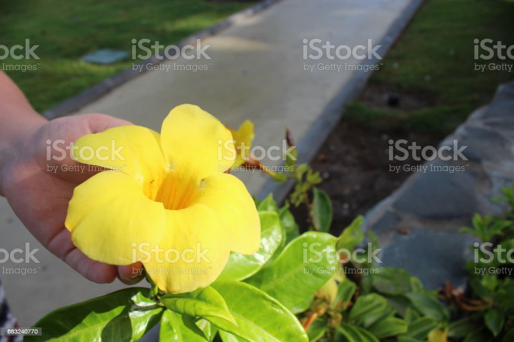 Yellow Flower royalty-free 스톡 사진