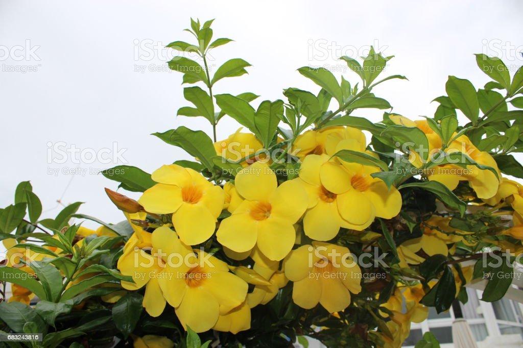 Yellow Flower 免版稅 stock photo