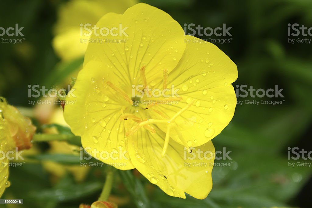 Yellow flower royalty-free stock photo