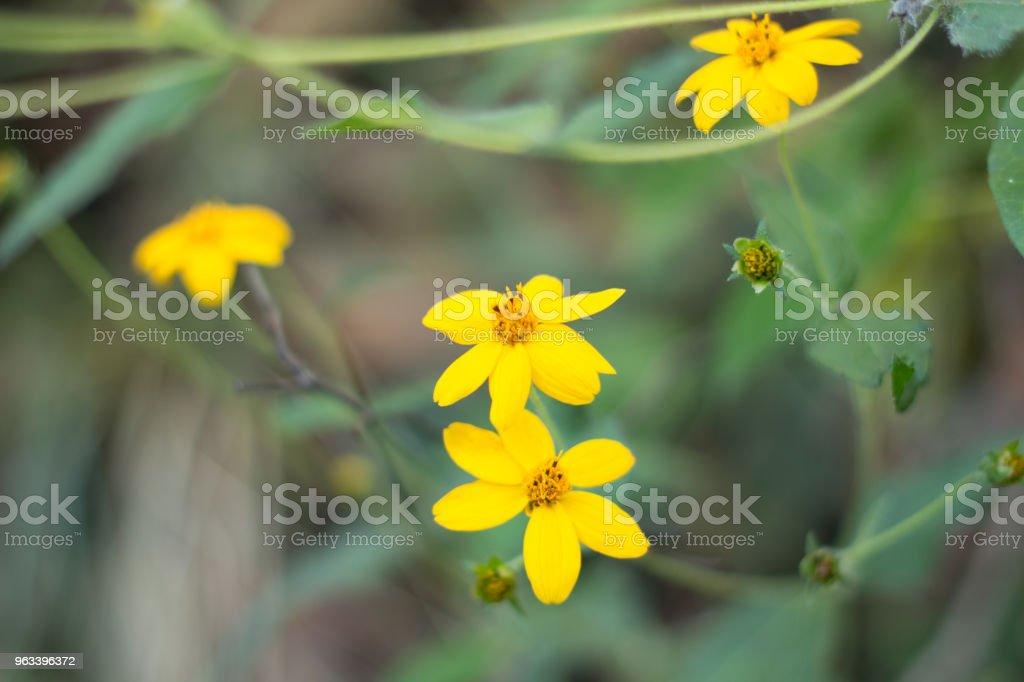 Żółty kwiat - Zbiór zdjęć royalty-free (Ameryka Łacińska)