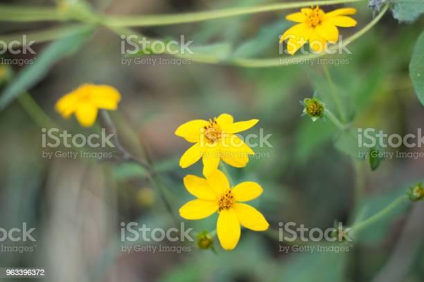 Żółty Kwiat - zdjęcia stockowe i więcej obrazów Ameryka Łacińska