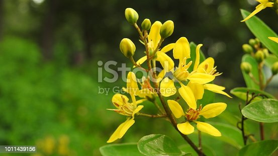 With out focus green background yellow flower Ruta graveolens isolated during a warm weather condition.
