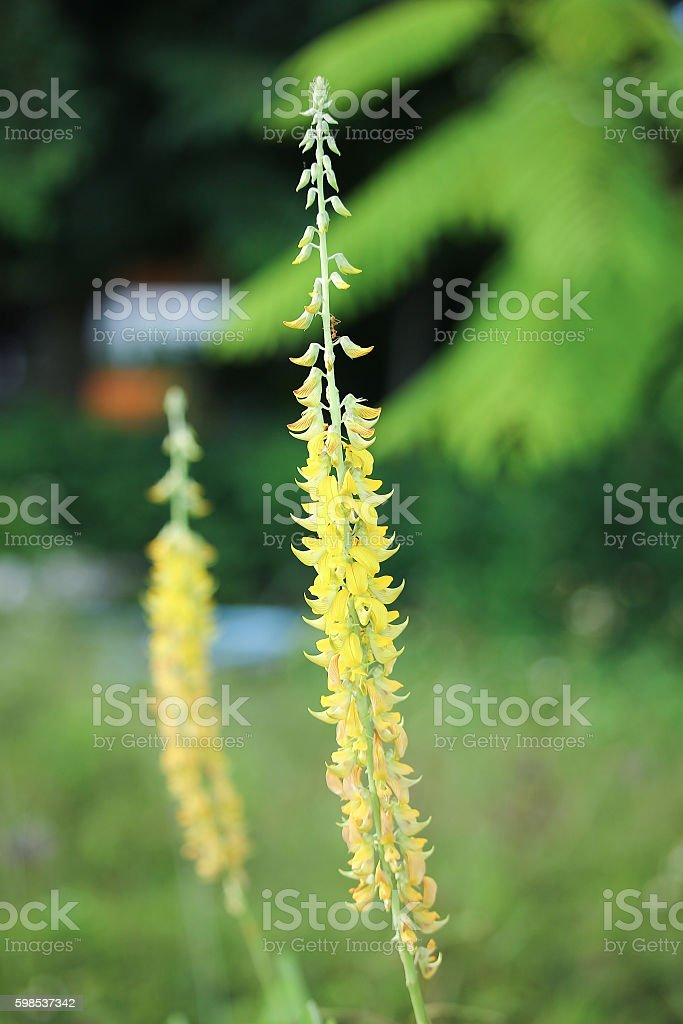 Yellow Flower, Smooth Rattled Pod. Striped Crotalaria photo libre de droits