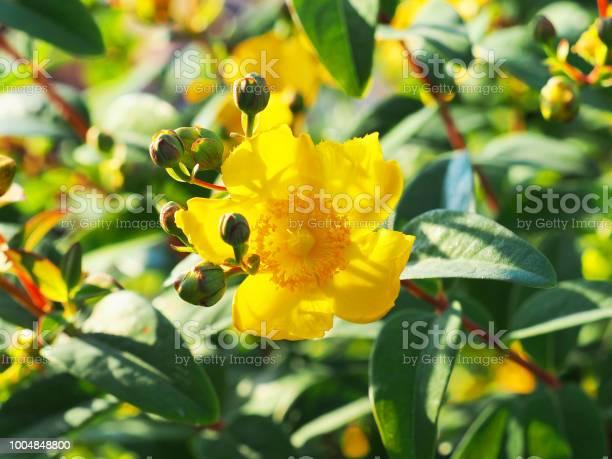 Yellow flower st johns wort shrub hidcote hypericum patulum hidcote picture id1004848800?b=1&k=6&m=1004848800&s=612x612&h=4eway8pydhtswgfosj75enkylsxqbvecjc 2inxcrei=