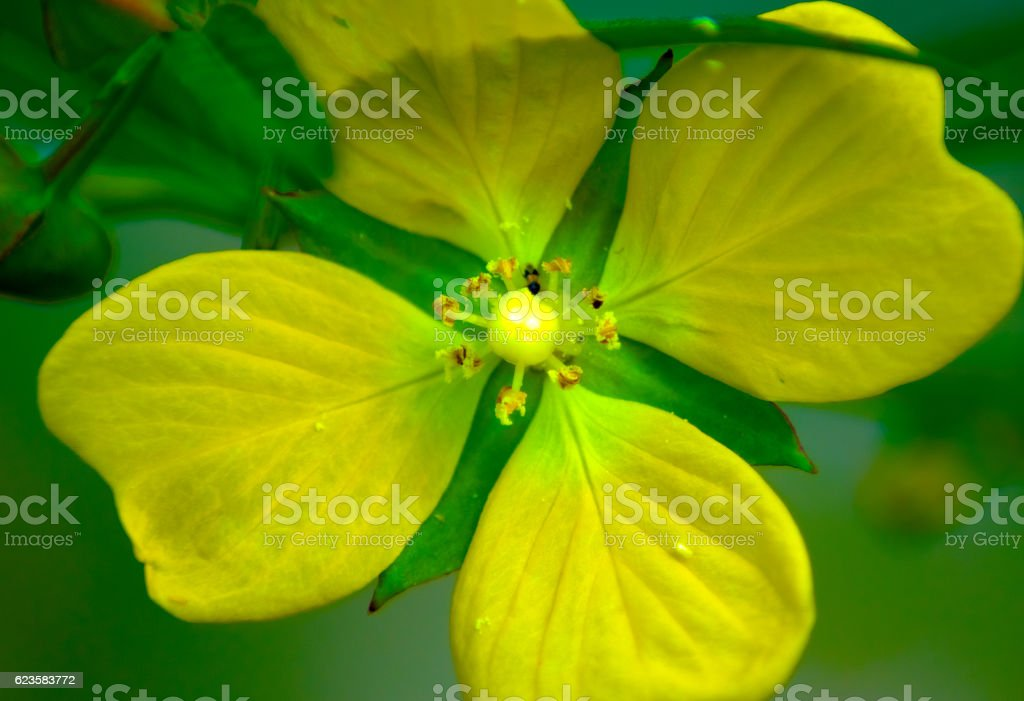 Yellow flower with 4 petals stock photo more pictures of flower yellow flower with 4 petals royalty free stock photo mightylinksfo Choice Image