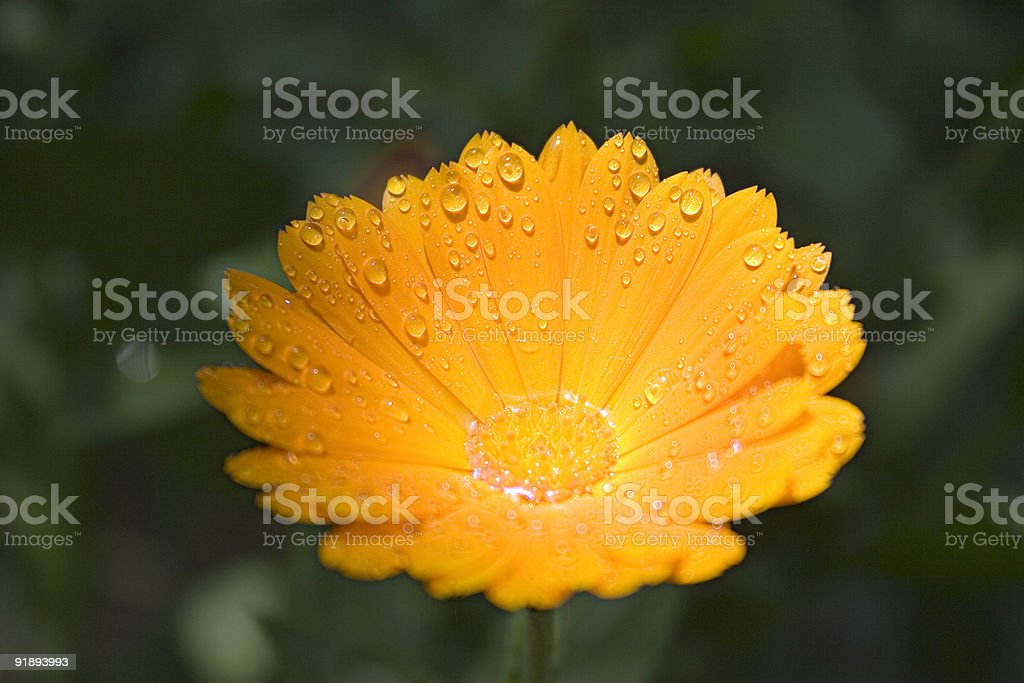 Yellow flower with droplets royalty-free stock photo
