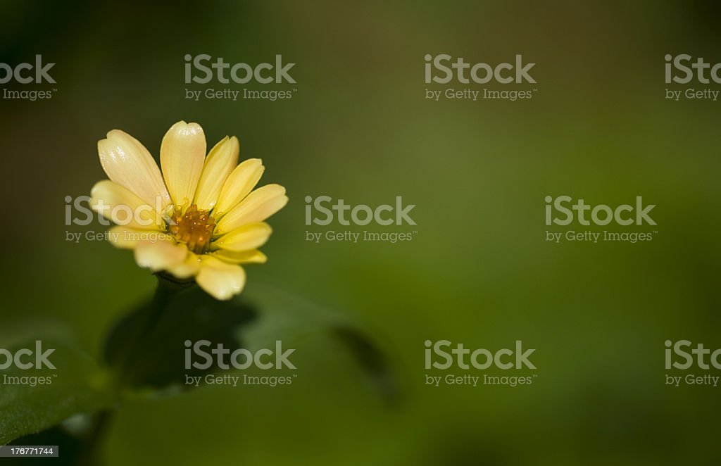 yellow flower with green copy space royalty-free stock photo