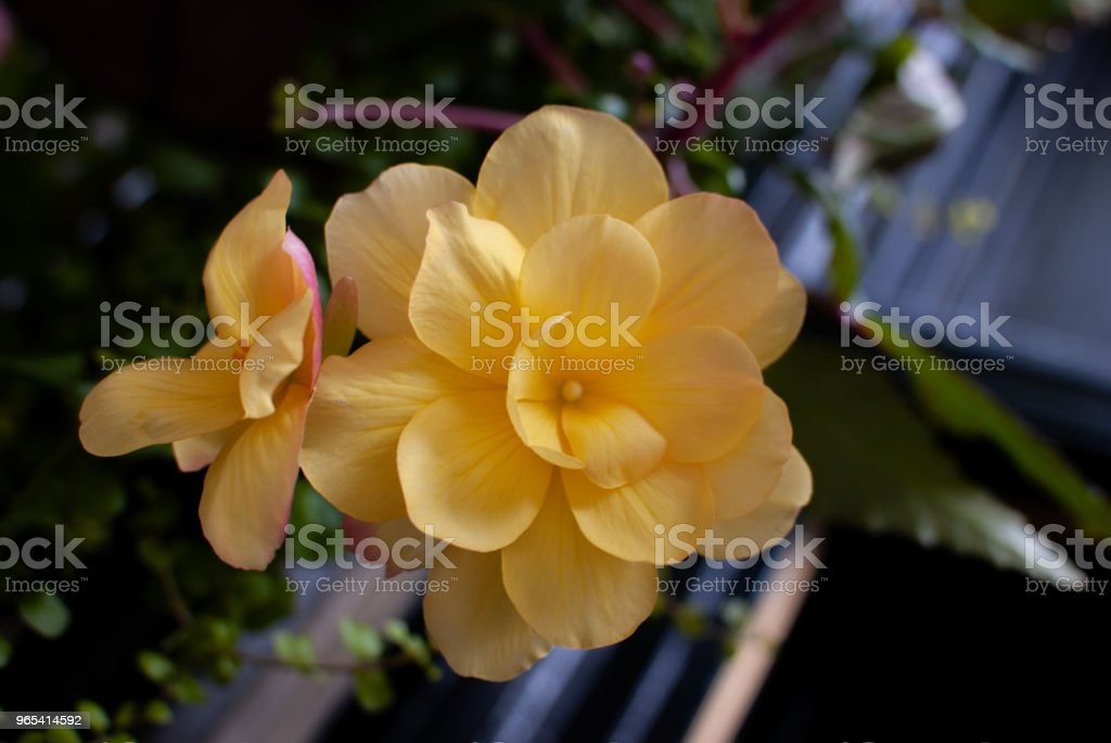 Yellow flower with little petals royalty-free stock photo
