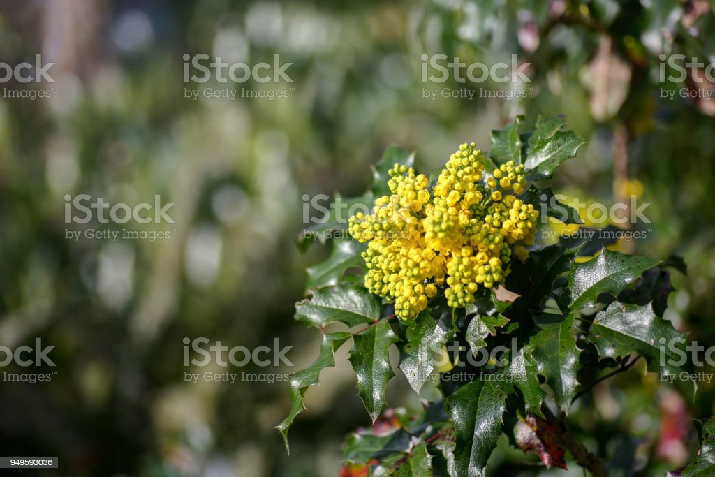 Yellow Flowering Bush In Spring Stock Photo More Pictures Of