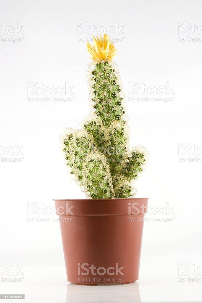 Yellow Flowering Cactus royalty-free stock photo