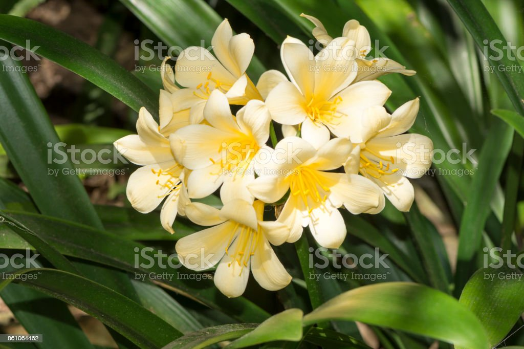 Yellow Flowering Clivia stock photo
