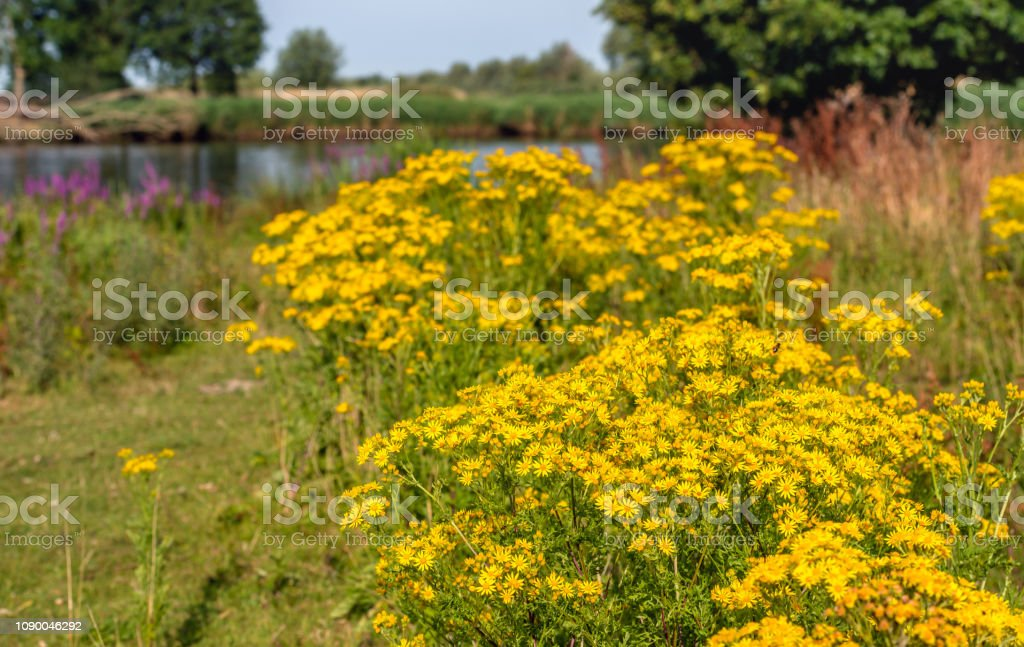 Yellow flowering tansy ragwort plants in the foreground of a Dutch nature reserve stock photo