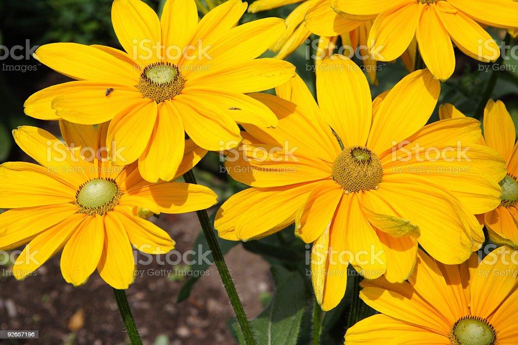 yellow flowers 3 royalty-free stock photo