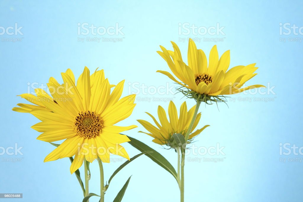 Yellow Flowers Against Blue royalty-free stock photo