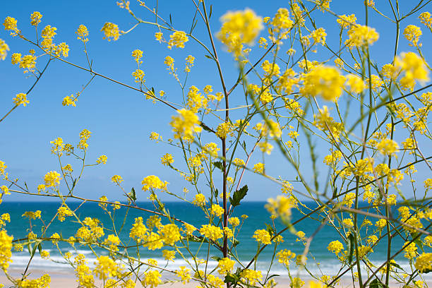 yellow flowers against blue sea and sky at st ives - cornwall stock photos and pictures