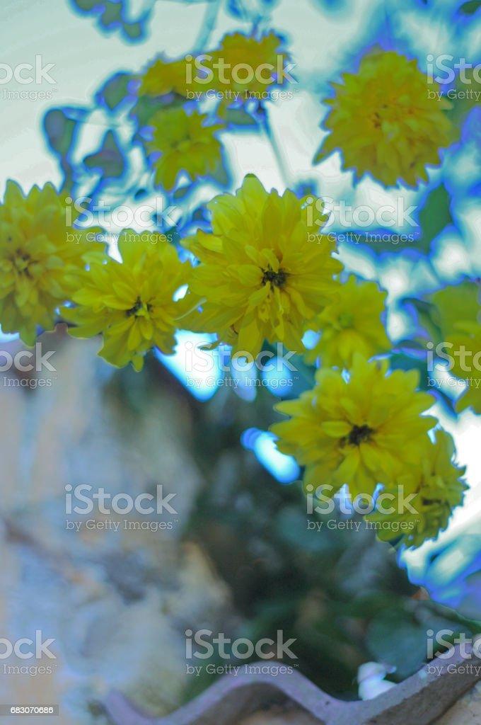 Yellow flowers againts wall sweden foto de stock royalty-free