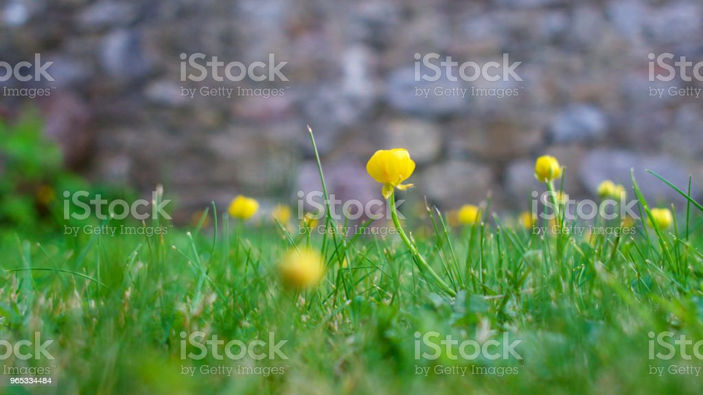 Yellow flowers amongst green grass in an English country garden zbiór zdjęć royalty-free