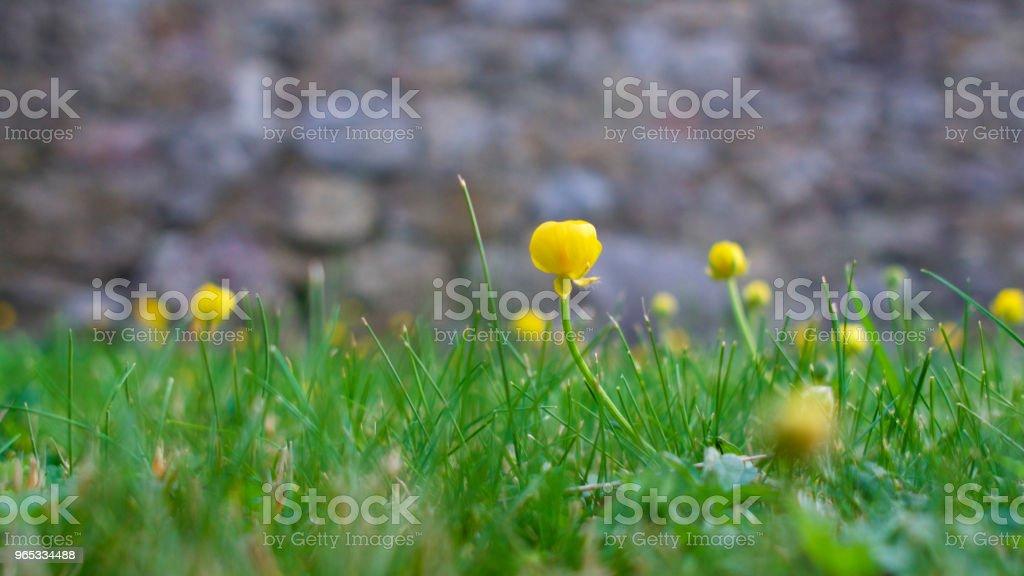 Fleurs jaunes parmi l'herbe verte dans un jardin de campagne anglaise - Photo de Arbre en fleurs libre de droits