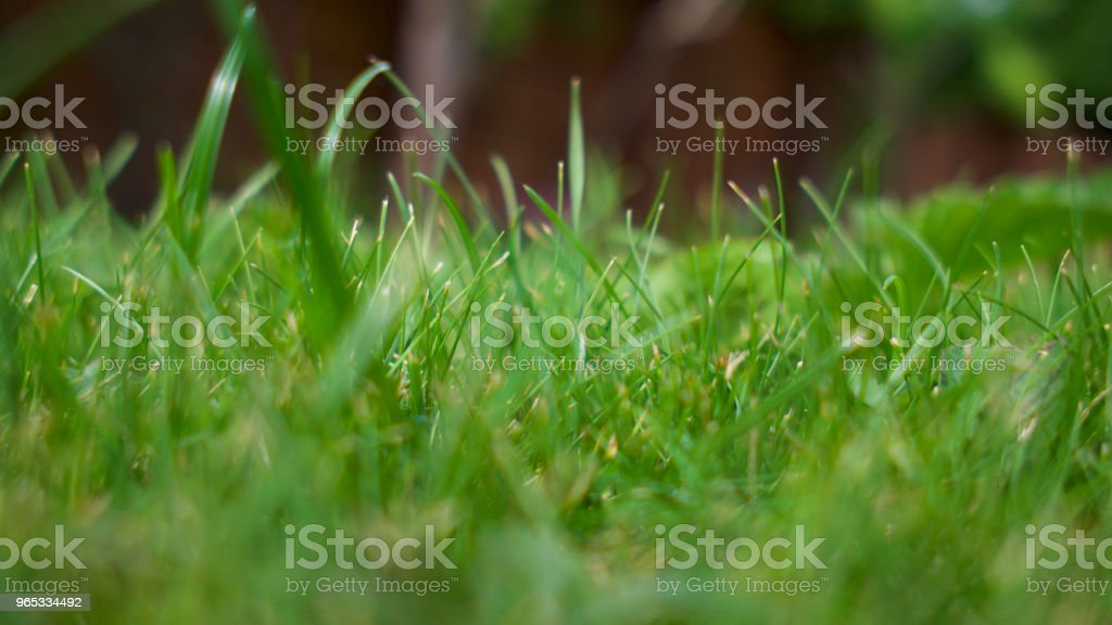 Yellow flowers amongst green grass in an English country garden royalty-free stock photo