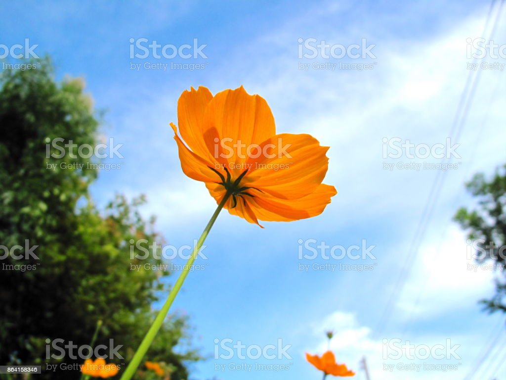 Yellow flowers and sky royalty-free stock photo