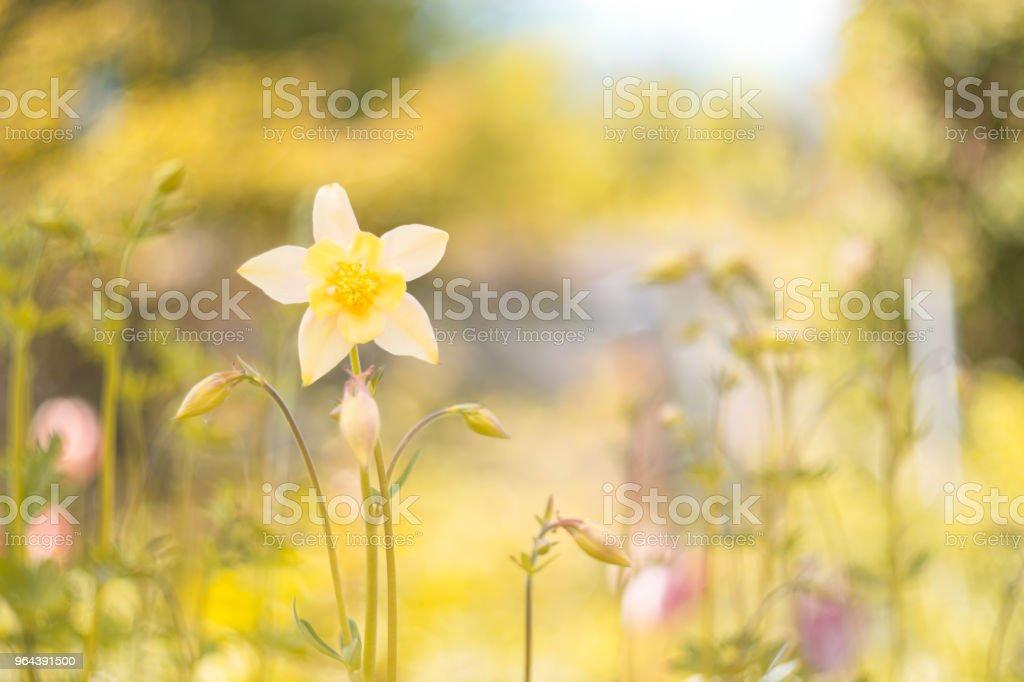 Aquilegia flores amarelas em um fundo bonito. Foco seletivo. - Foto de stock de Agricultura royalty-free