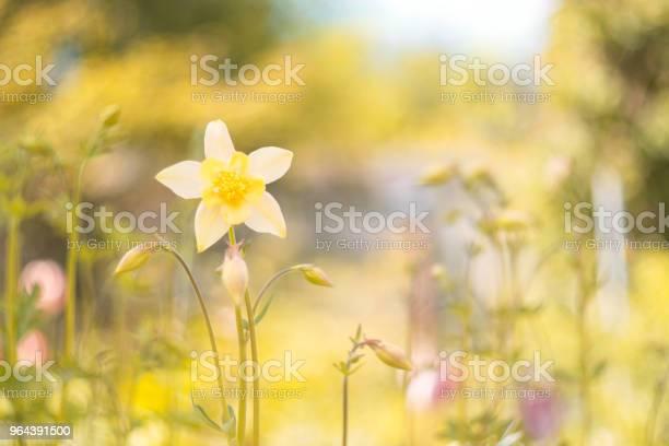 Foto de Aquilegia Flores Amarelas Em Um Fundo Bonito Foco Seletivo e mais fotos de stock de Agricultura