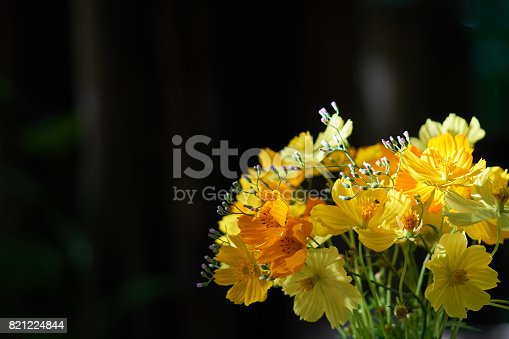 Yellow flowers are beautifully arranged in beautiful flower vases and sunlight. Cosmos is a popular choice for tableware or home decor. copy space