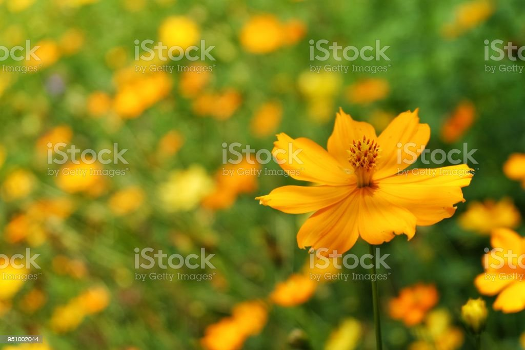Yellow flowers are wavy green leaves called sulfur cosmos flowers yellow flowers are wavy green leaves called sulfur cosmos flowers royalty free stock photo mightylinksfo