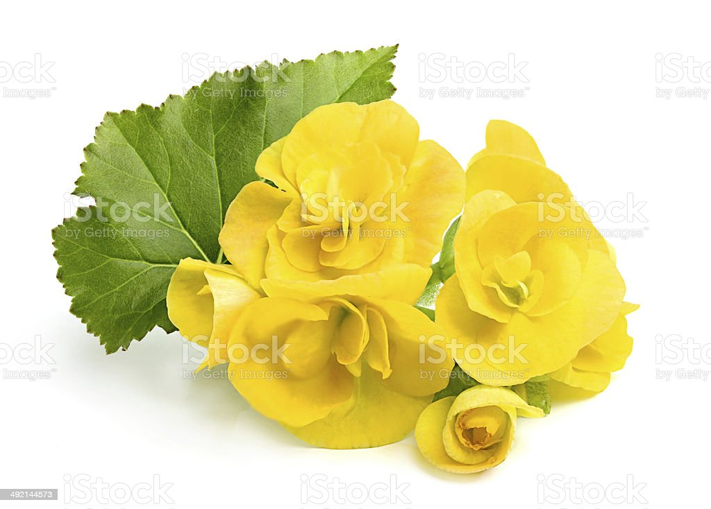 Yellow flowers Begonias with leaf. stock photo