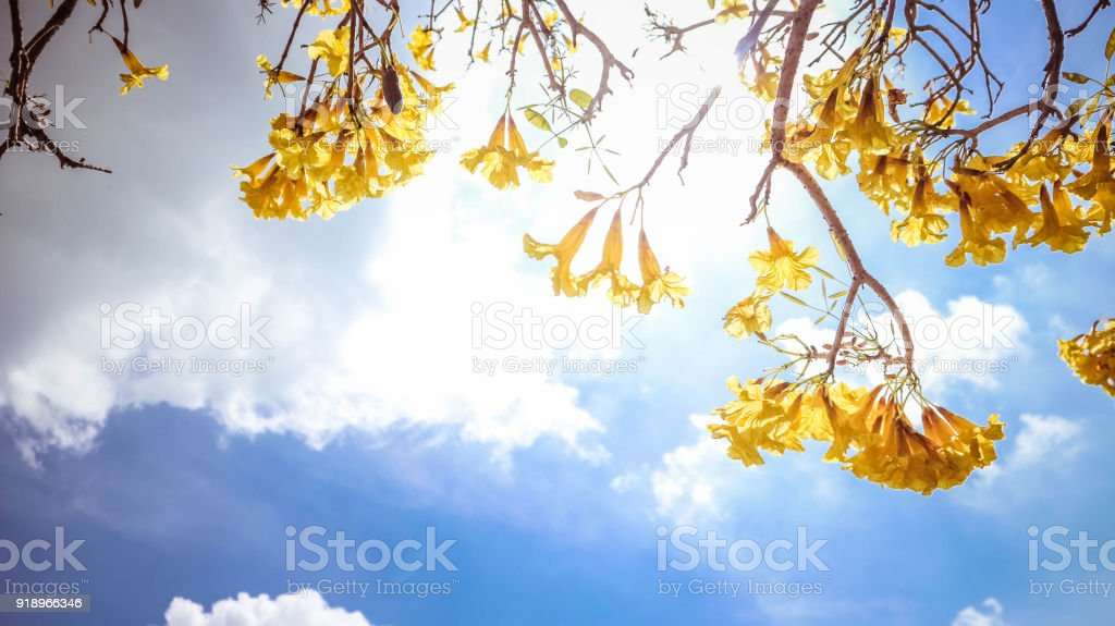 yellow flowers blossom on sky background. stock photo