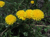 Bright yellow dandelions open their flowers during the day and close at night.