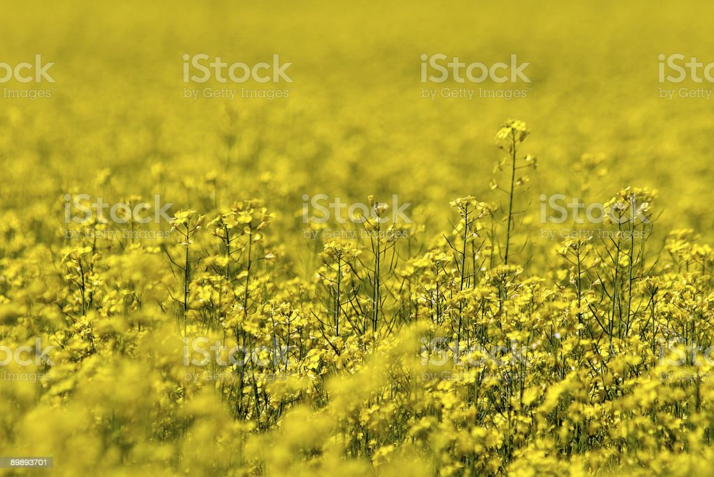 Yellow Flower's Field (2) royalty-free stock photo