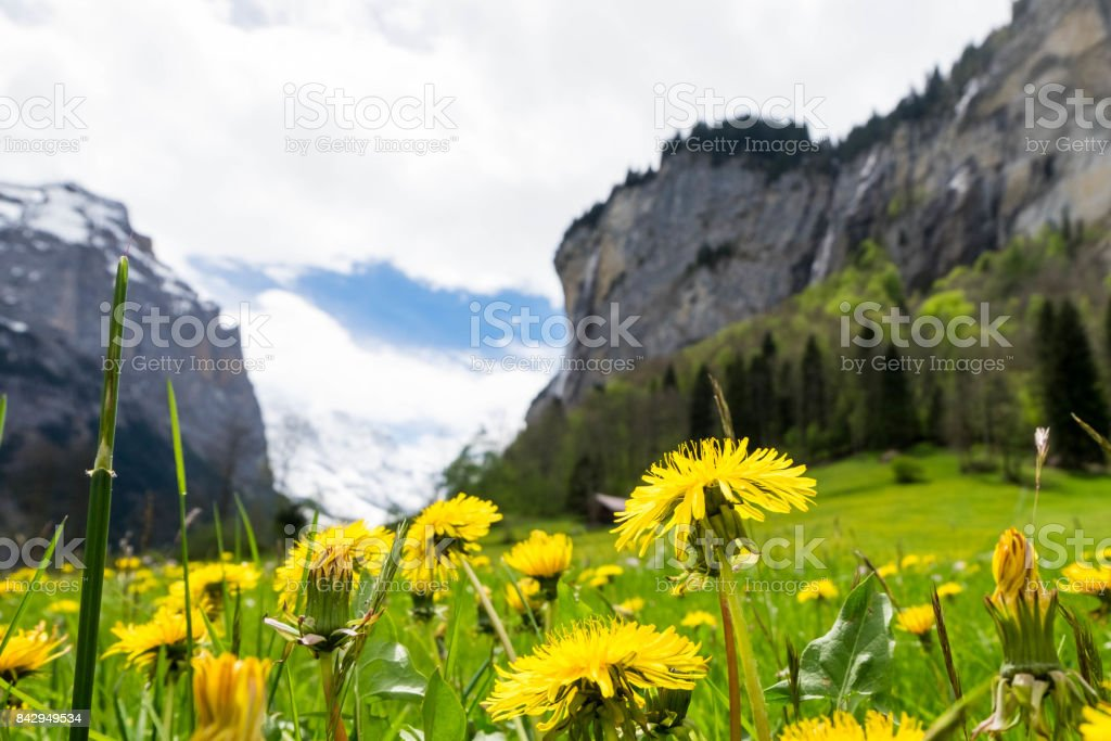 Yellow flowers field with snow mountains as background in Lauterbrunnen stock photo