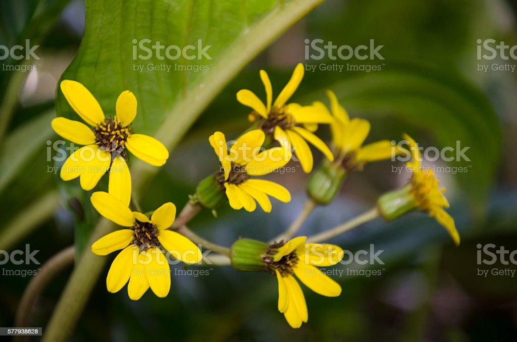 Yellow Flowers Florida Close Up Stock Photo More Pictures Of