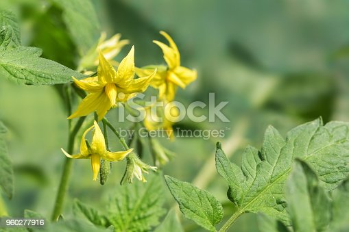 yellow flowers from a tomato plant between the green leaves, copy space, selected focus, narrow depth of field