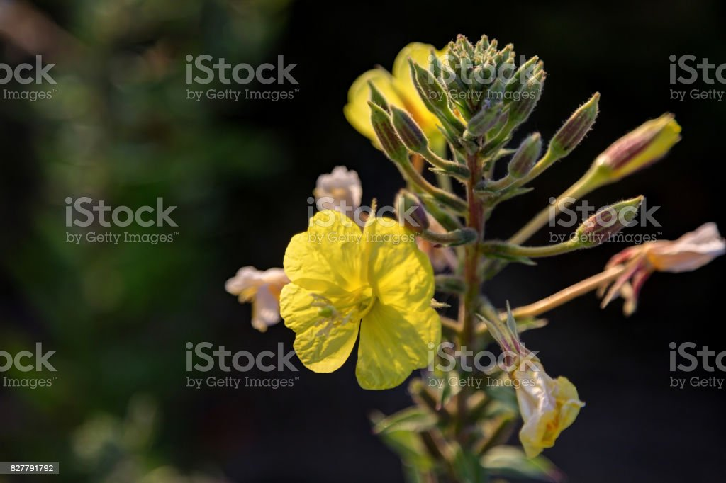 yellow flowers in a park at sunset stock photo