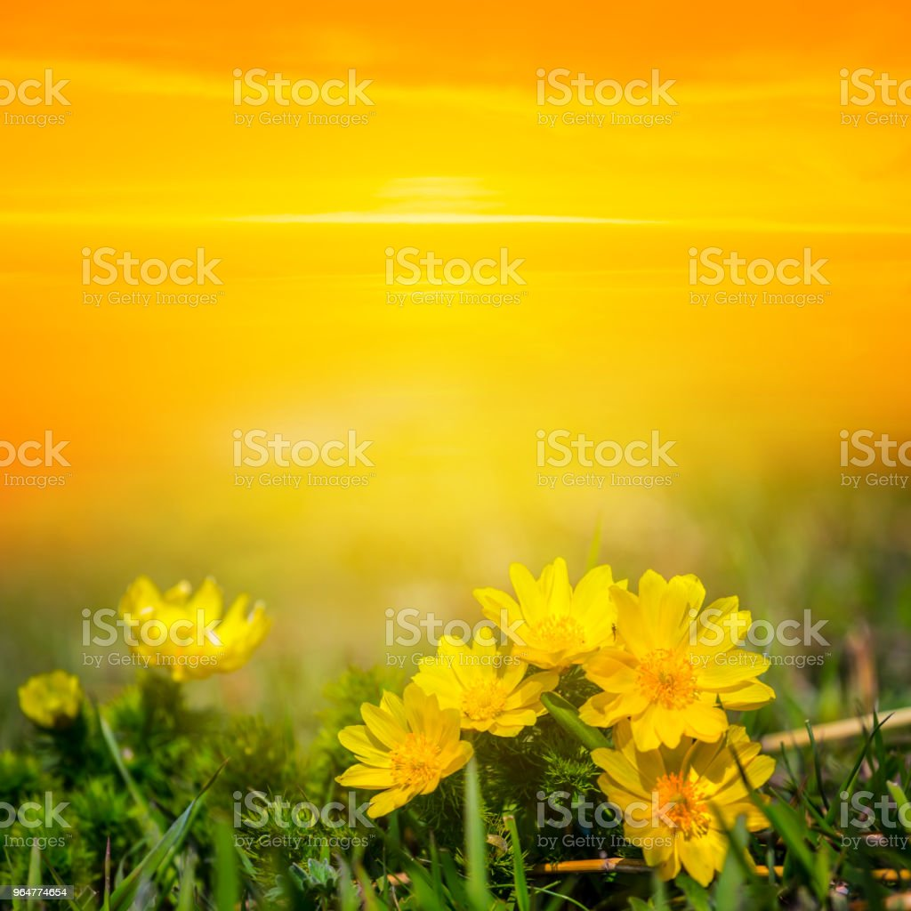 yellow flowers in a prairie at the sunset royalty-free stock photo