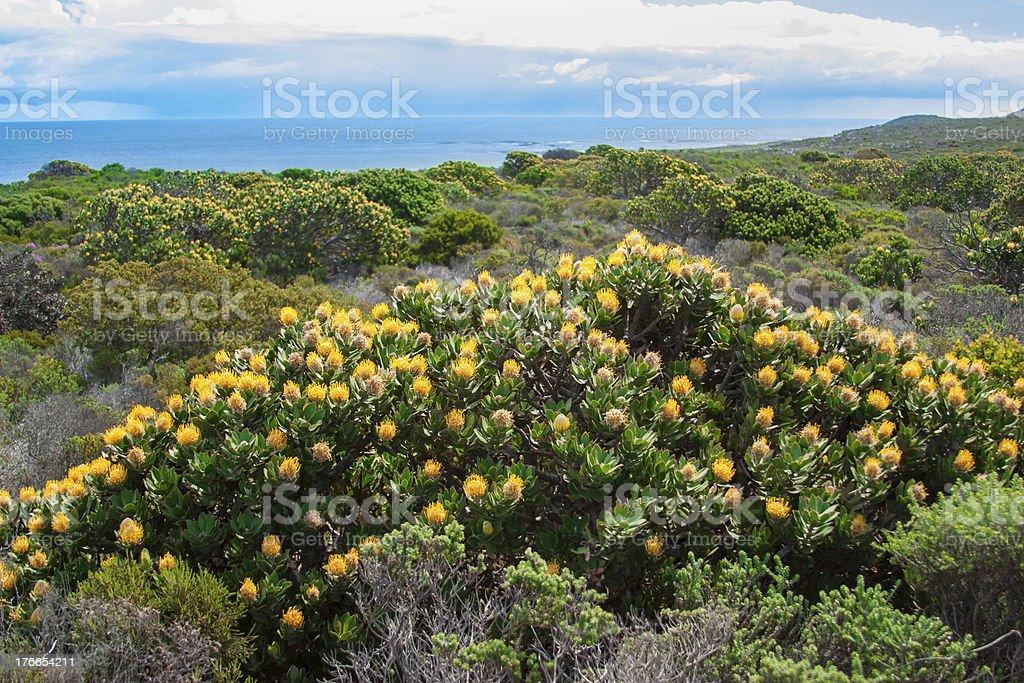 Amarillo flores en cabo de la buena esperanza, UAR foto de stock libre de derechos