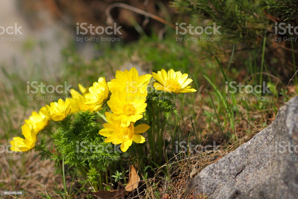 Yellow Flowers In Early Spring Wildflowers With Blurred Background