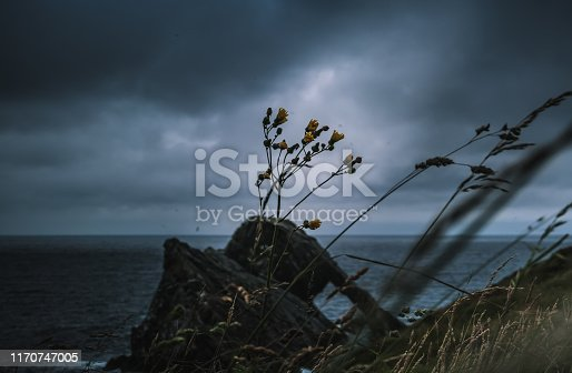 Yellow flowers in the foreground, while in the background bow fiddle rock, scotland, can be seen, during a storm, with moody clouds, lightnings, and heavy rain. overall a very dark picture