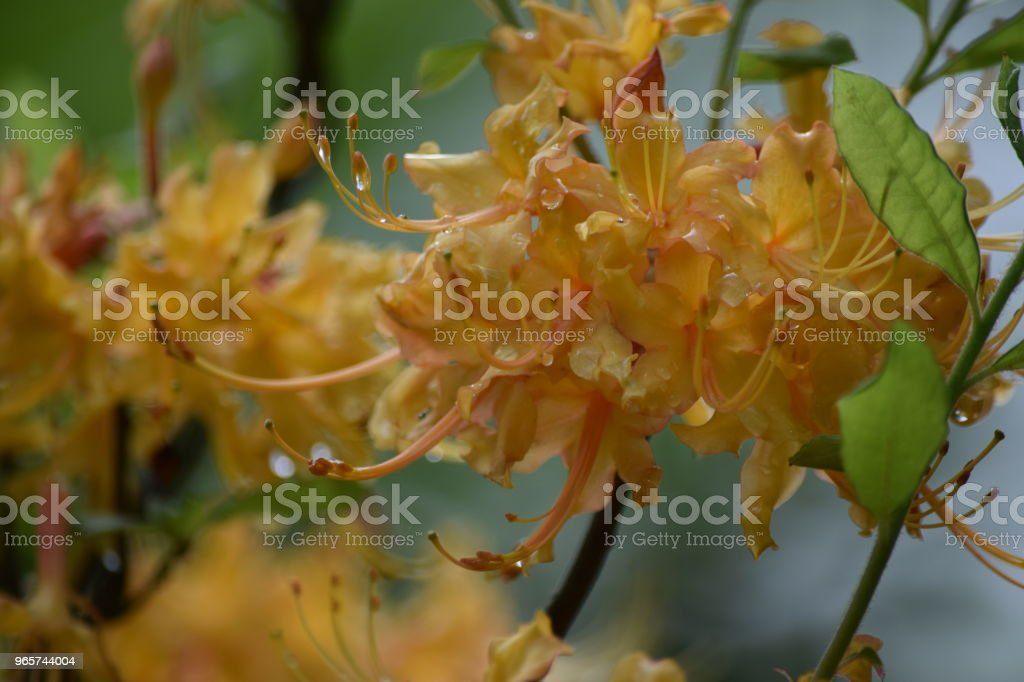 yellow flowers in the rain - Royalty-free Beauty Stock Photo