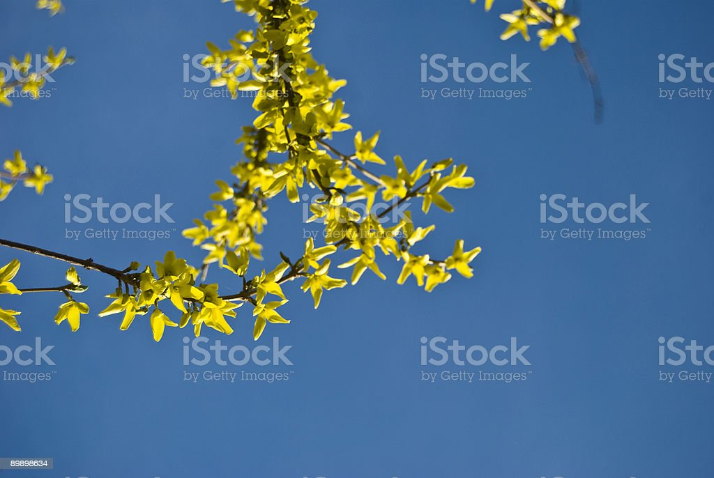 Yellow Flowers isolated on blue sky royalty-free stock photo