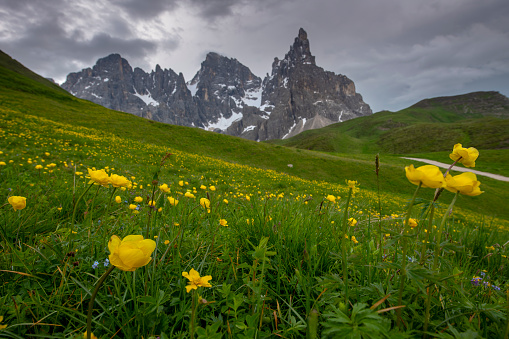 yellow flowers meadow with Pale di San Martino on the background and clouds, dolomiti , Italy