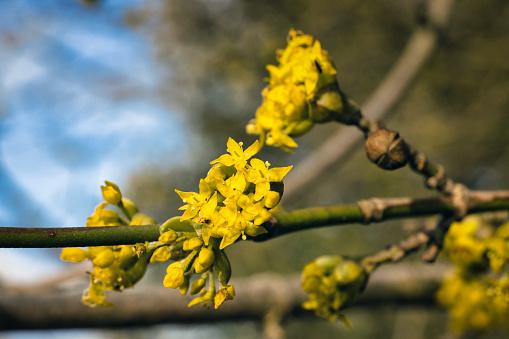 Chatenay Malabry, France - February 19, 2021. Macro view of a bud of yellow flowers of a dogwood (Cornus).