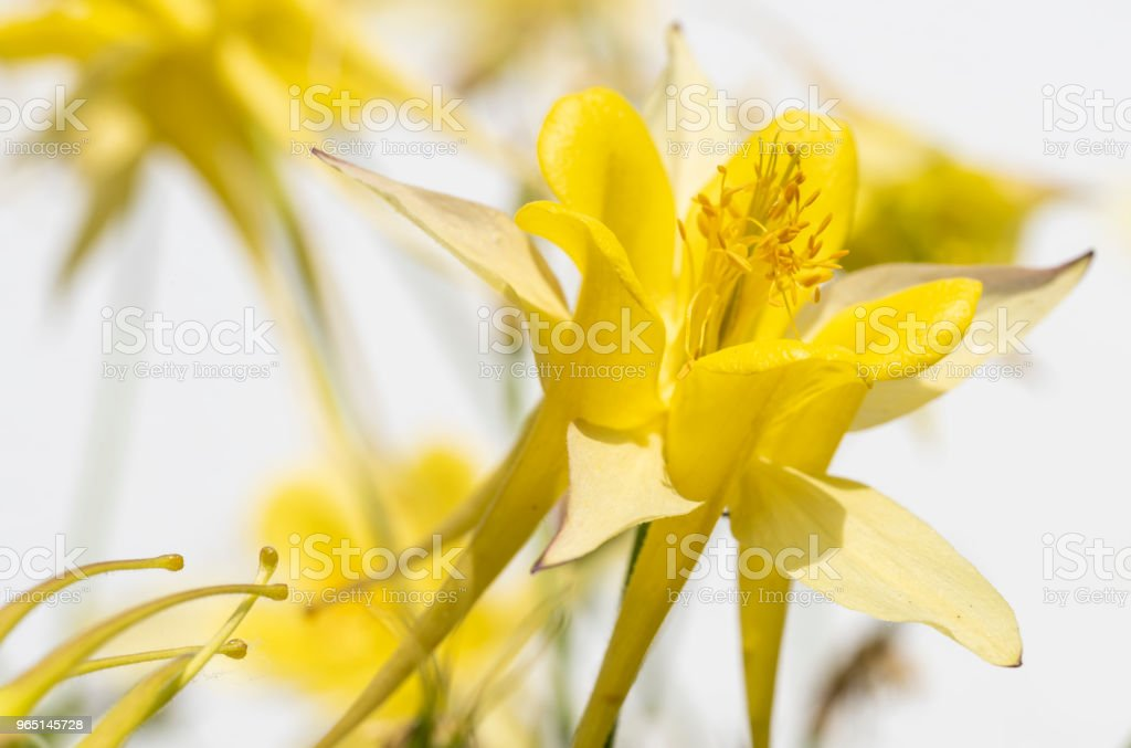 yellow flowers of aquilegia royalty-free stock photo