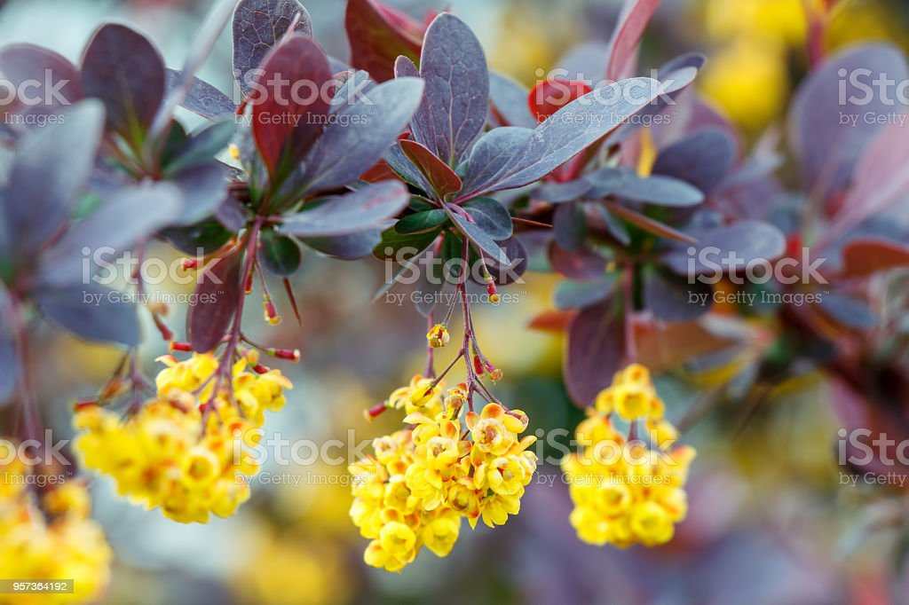 Yellow flowers of blossoming shrubbery close-up stock photo