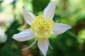 Yellow flowers of Columbine in springtime